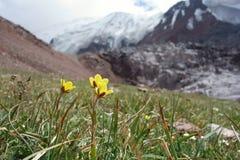 Belle fleur du Pamirs du nord Photographie stock libre de droits
