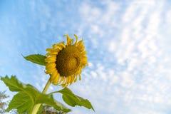 Belle fleur du soleil Photo stock
