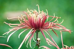 Belle fleur en fleur. images libres de droits