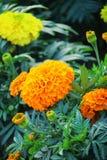 Belle fleur en gros plan colorée de souci photo stock