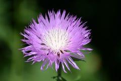Belle fleur fleurissante de cactus sur un fond trouble vert image stock