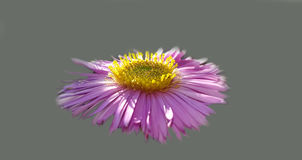 Belle fleur fraîche de rose d'automne Image libre de droits