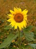 Belle fleur isolée d'un tournesol au début d'automne image libre de droits