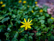 Belle fleur jaune Images stock