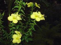 Belle fleur jaune au crépuscule Photographie stock libre de droits