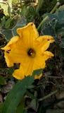 Belle fleur jaune avec l'abeille honny image libre de droits