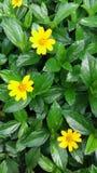 Belle fleur jaune dans le jardin Images libres de droits