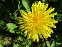 Belle fleur jaune de blowball Photographie stock