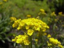 Belle fleur jaune de champ Photo libre de droits