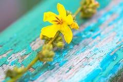 Belle fleur jaune de fleur de ressort sur le cra romantique de turquoise Photos stock