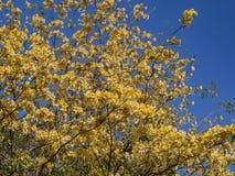 Belle fleur jaune de fleurs de Tabebuia photo libre de droits