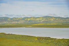 Belle fleur jaune de goldifelds avec le lac soda photos libres de droits