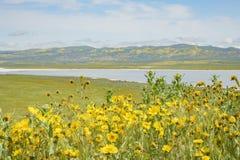 Belle fleur jaune de goldifelds avec le lac soda images stock