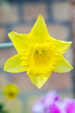 Belle fleur jaune de jonquille Photo libre de droits