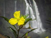Belle fleur jaune de l'iguazu images stock