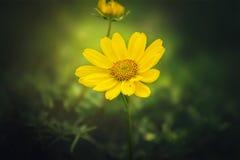Belle fleur jaune de marguerite images libres de droits