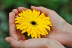Belle fleur jaune de marguerite sur des mains de femme Photographie stock libre de droits