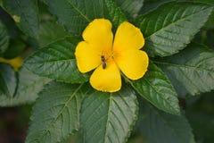 Belle fleur jaune de mon inThailand de jardin photos stock