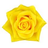 Belle fleur jaune de Rose d'isolement sur le blanc Photographie stock libre de droits