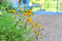 Belle fleur jaune en Thaïlande Asie Image libre de droits