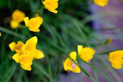 Belle fleur jaune en Thaïlande Asie photographie stock libre de droits
