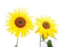 Belle fleur jaune, isolat coloré de tournesol Photos libres de droits