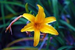 Belle fleur jaune, fleur magnifique d'usine dans la jungle de Costa Rica photo stock