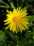 Belle fleur jaune qui élève la biologie Photo libre de droits
