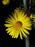 Belle fleur jaune qui élève la biologie Image libre de droits