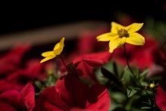 Belle fleur jaune sur le fond brouillé Image libre de droits