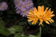 Belle fleur jaune sur le plan rapproché foncé de fon Image stock