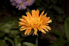 Belle fleur jaune sur le plan rapproché foncé de fon Photos stock