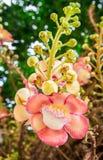 Belle fleur magenta blanche ronde de couleur d'arbre de boule de canon, Image stock