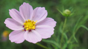 Belle fleur mauve-clair Photo stock
