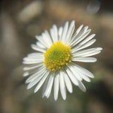 Belle fleur minuscule de ressort Photo libre de droits
