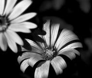 Belle fleur noire et blanche Photographie stock libre de droits