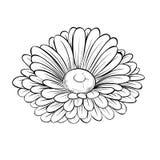 Belle fleur noire et blanche monochrome de marguerite d'isolement sur le fond blanc Photo libre de droits