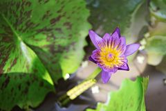 Belle fleur ou nénuphar de lotus pourpre fleurissant sur l'étang Photographie stock
