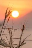 Belle fleur (Poaceae) avec le lever de soleil chaud Photo stock