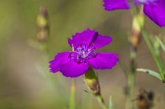 Belle fleur pourprée Image libre de droits