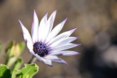Belle fleur pourprée Images libres de droits