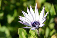Belle fleur pourprée Photos libres de droits