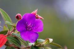 Belle fleur pourprée Images stock