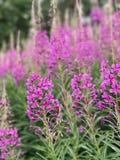 Belle fleur pourprée Photographie stock