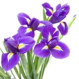 Belle fleur pourprée foncée d'iris Image stock