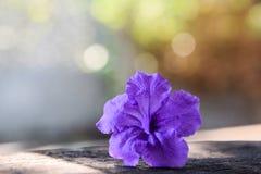 Belle fleur pourpre - cosse sautante sur le fond de nature Blurred Bokeh photo libre de droits