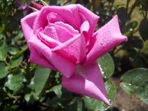 Belle fleur pourpre couverte de gouttelettes d'eau avec des feuilles à l'arrière-plan Photo stock