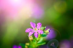 belle fleur pourpre de hyssopifolia de Cuphea photo libre de droits