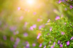 Belle fleur pourpre de hyssopifolia de Cuphea de foyer mou images stock