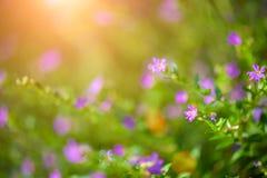 Belle fleur pourpre de hyssopifolia de Cuphea de foyer mou photographie stock